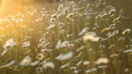 Romantic daisy field background at sunset video