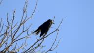 Rook, a flock of black migratory birds for nesting video