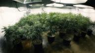 Room Full of Indoor Marijuana Plants with Fisheye Lens video