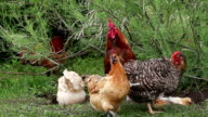 Rooster and hens on foreground video