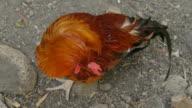 Rooster Grooming Top View (HD, PAL) video
