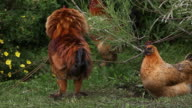 Rooster shaking feathers video