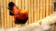Rooster video