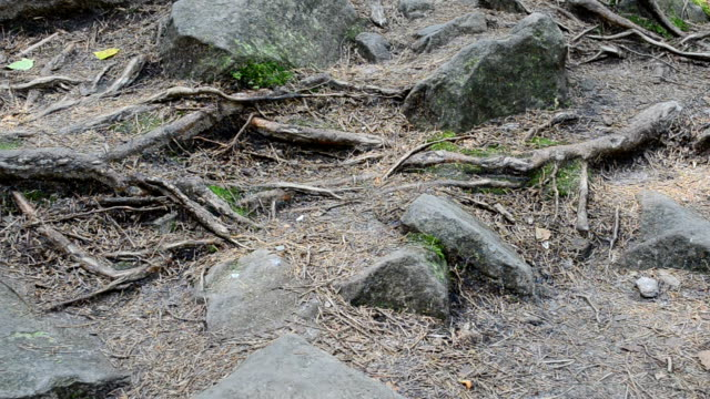 Roots of trees among stones video