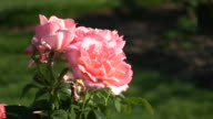 Rosa Atlantic Star roses gently sway in wind (High Definition) video