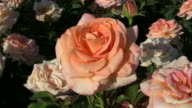 Rosa Golden Oldie roses gently sway in wind (High Definition) video