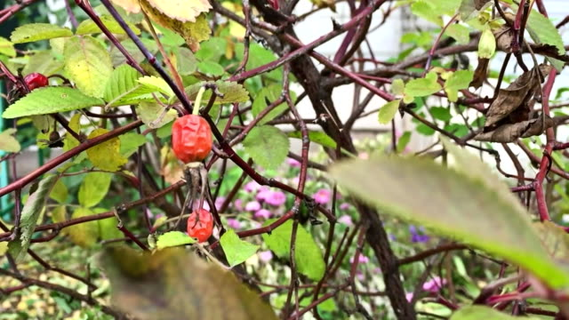 Rose briar wild rose dog-rose bush with green leaves swaying in the wind nature video
