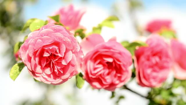 Rose Flower blooming in springtime. video