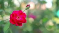 Rose flower on sunny day. video