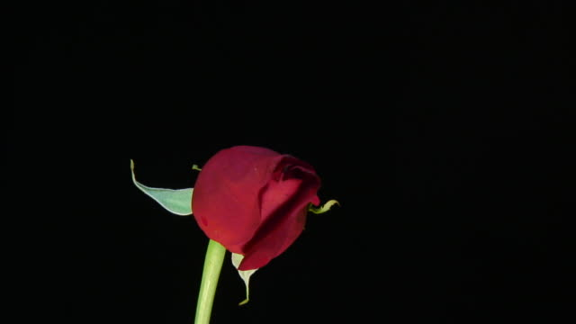 Rose - HD 1080/30p time lapse video
