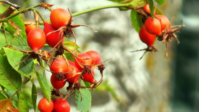 Rose hips on branch video