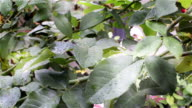 Rose leafs with raindrops video