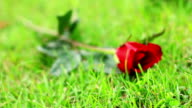 Rose on the grass. video