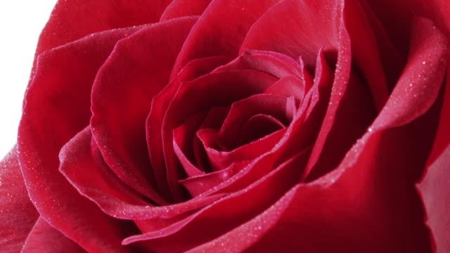 Rose opening timelapse video