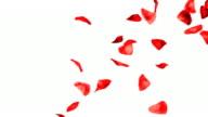 Rose Petals Falling Hd video