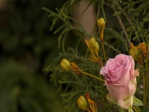Rose  (Video - 16:9) video