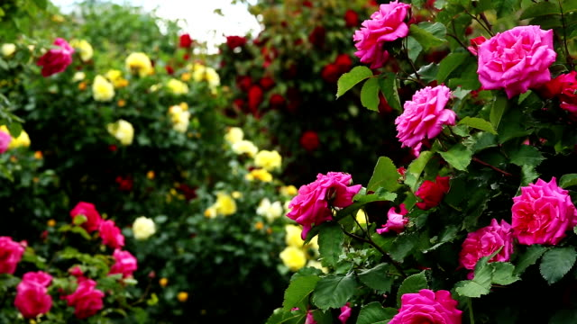 Rosebush video
