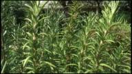 (HD1080) Rosemary Garden Blowing in Wind: Wide video