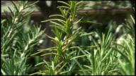 (HD1080) Rosemary Garden: Closeup video