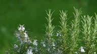 Rosemary video