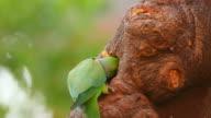 Rose-ringed Parakeet video