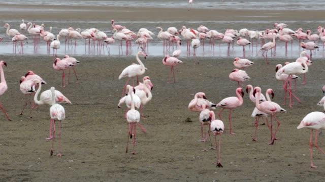 Rosy Flamingo colony in Walvis Bay Namibia video