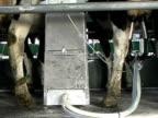 Rotary Milking video