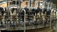 Rotating Cow Milking machine in dairy farm barn video