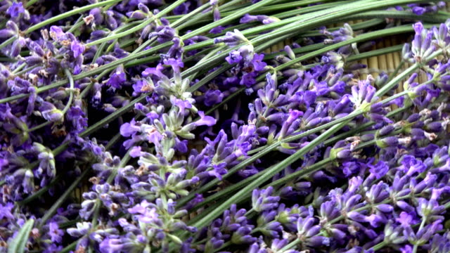 Rotating fresh lavender flowers background video