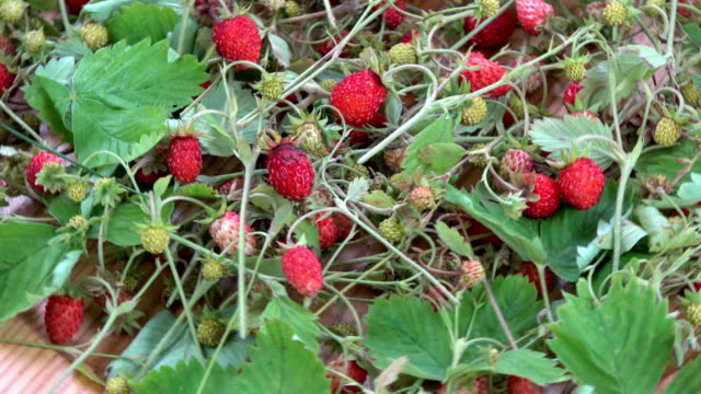 Rotating harvested fresh wild strawberries  for tea video