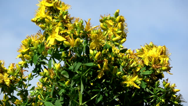 Rotating on blue sky background  medical St. Johns wort  flowers video