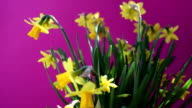 rotating yellow daffodils on purple background video