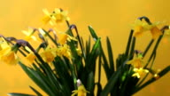 rotating yellow daffodils on yellow background video
