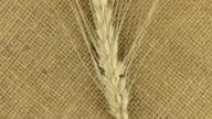 Rotation of the spikelet of wheat lying on sackcloth video