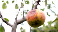 rotten apple hanging on a branch video