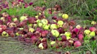 Rotten apples with insects video