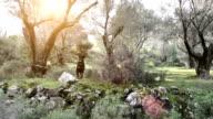 STEADICAM: Rottweiler in olive grove video
