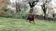 SERIES: Rottweiler in woods video