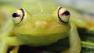 Rough skinned green treefrog (Hypsiboas cinerascens) video