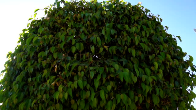 round green tree and a lot of green leaves on it video