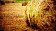 Round hay bales in harvested wheat field. video