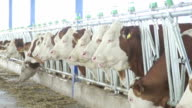 Row of cows in dairy farm video