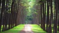 Row of Pine Tree video