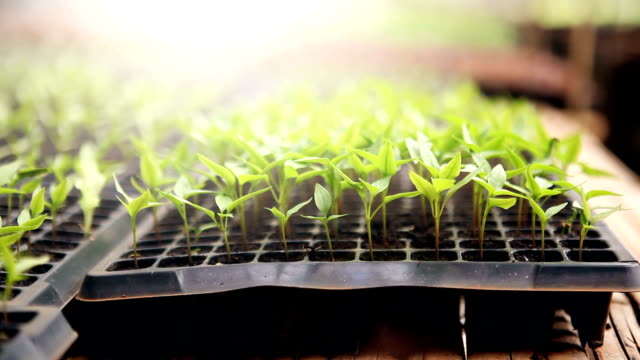 Row of Young Plant in Plastic Seedling Trays in Greenhouse video
