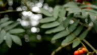 Rowan berries - camera move. video