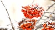 Rowan berry tree video