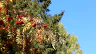 Rowan branch with berries shaking from wind against of the blue sky in the fall video