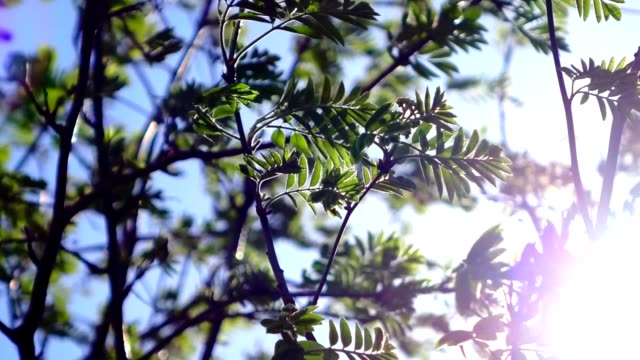 Rowan branches with young leaves swaying in the wind. video