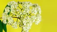 Rowan flowers video
