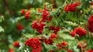 Rowan in the wind . Warm autumn. red berries . video